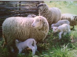 Содержание овец в домашних условиях и не только