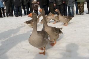 Чем кормить гусей зимой?