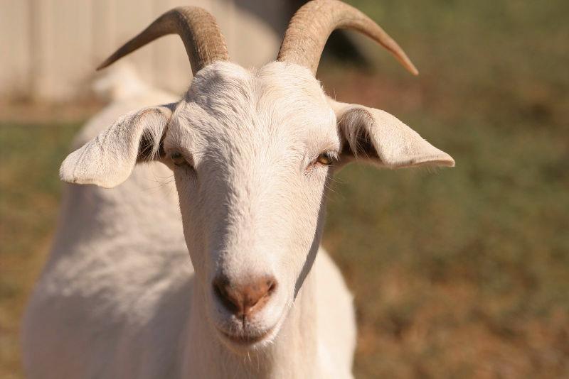 Домашние козы - разведение и содержание
