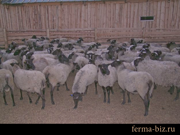 Романовские овцы на Камчатке