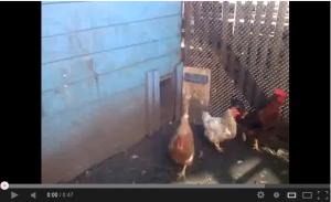Видео домашних кур