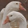 Линдовские гуси фото