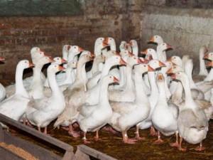 Эмденские гуси порода фото