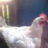Кормление домашних кур