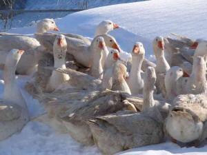Итальянская порода гусей