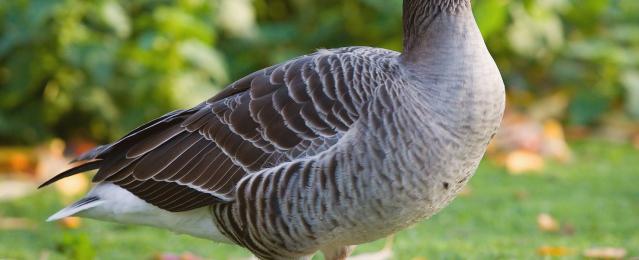 Ландская порода гусей