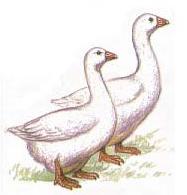 Итальянские гуси порода