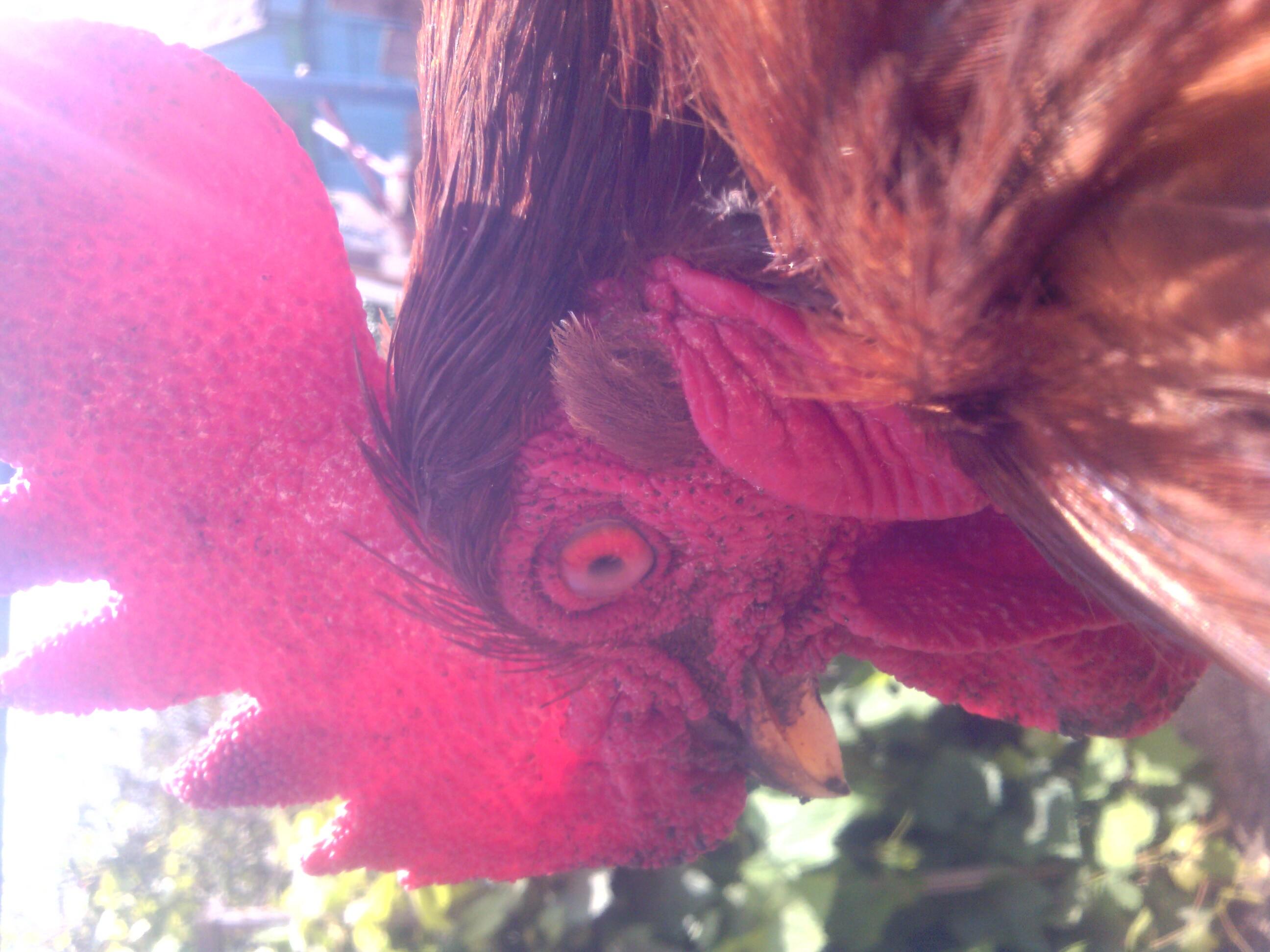 Ереванская порода кур