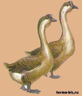 Кубанская порода гусей