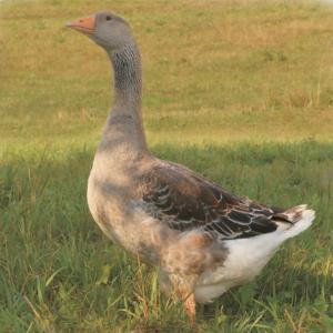 Ландские гуси фото порода