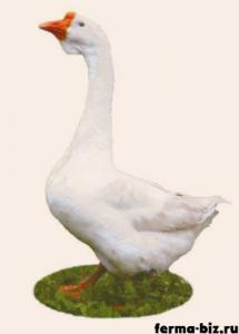 Линдовские гуси порода