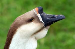 Китайская порода гусей фото