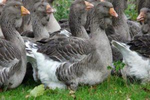 Тулузская порода гусей фото