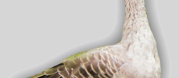 Роменские гуси порода