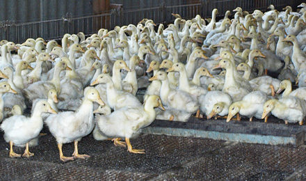 Утиная ферма бизнес план
