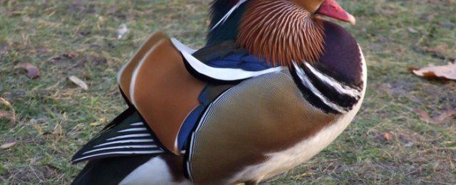 Утка мандаринка фото