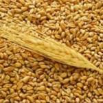 Пшеница для уток