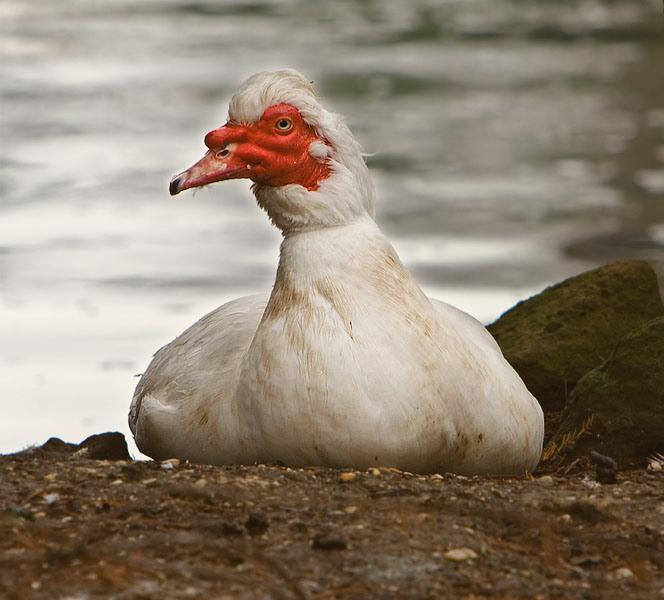 Мясная утка фото