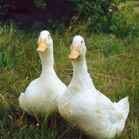Благоворские белые утки кросс