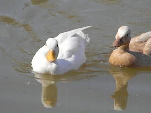 Карликовая белая утка фото