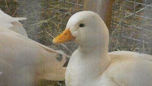 Карликовая белая утка
