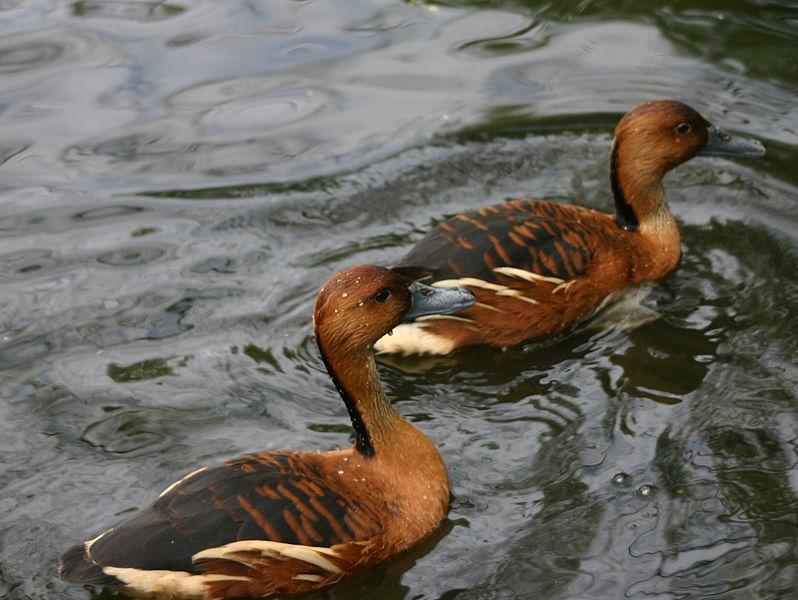 Рыжие свистящие утки фото