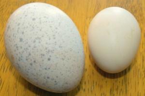 Хранение яиц индейки