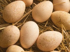 Индюшиное яйцо фото
