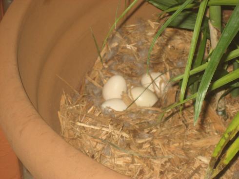 Яйцо индоутки фото