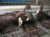 Чёрные белогрудые утки фото
