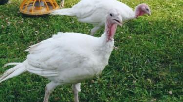 Северокавказская белая порода
