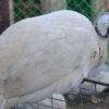 Порода цесарок - сибирская белая