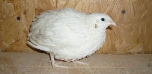 Английская белая порода перепелов