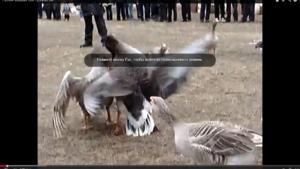 Видео про гусей