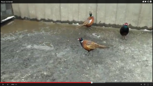 Видеозаписи про фазанов
