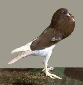 Английский поутер голуби