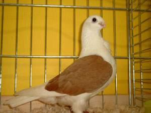 Аахарейские чайки с лаковыми щитками фото