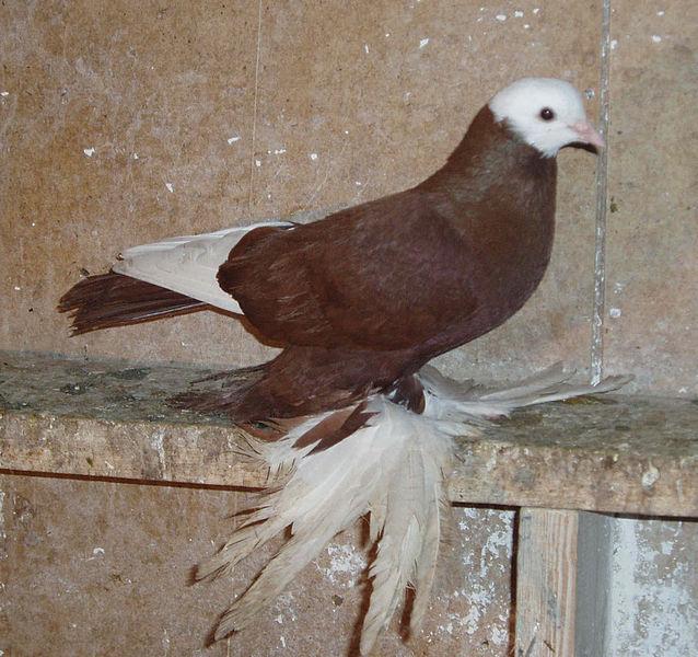 Армавирские-белоголовные-космачи фото