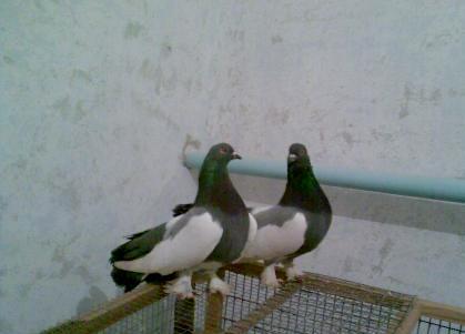 Астраханская порода голубей фото