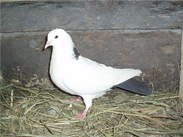 Бакинская бойная порода голубей