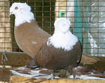 Порода: Благодарненские бойные голуби фото