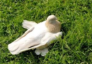 Виды голубей - бойные голуби