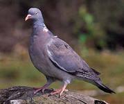 Виды голубей