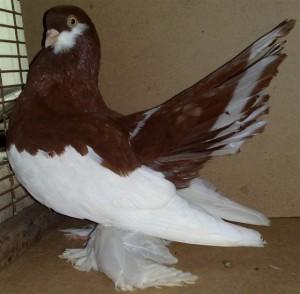 Волжские ленточные голуби фото