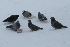 Стая голубей типплеров