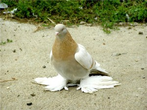 Голуби агараны фото