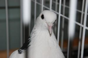 Домашний голубь