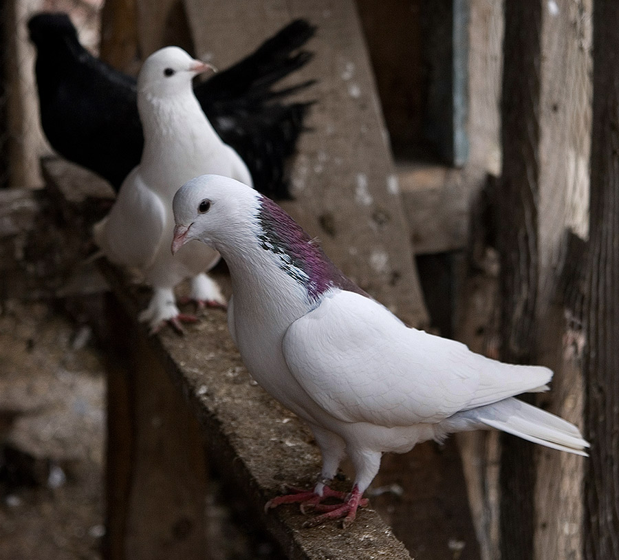 Голуби гривуны фото