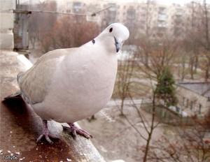 Домашние голуби - виды голубей