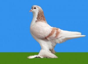 Домашние голуби – почта, содержание и разведение